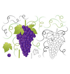 Red purple grape and outline isolated on white vector