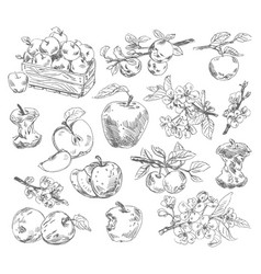 freehand drawing apples vector image