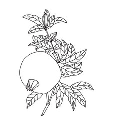 pomegranate punica granatum branch with fruit and vector image