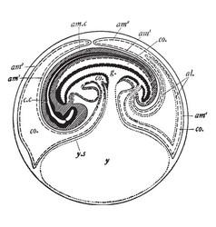 Fowl embryo vintage vector