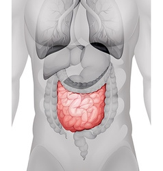 Small intestine diagram in human vector