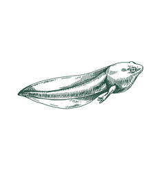 Frog s tadpole drawn in vintage style etching vector