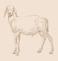 hand drawn goat vector image