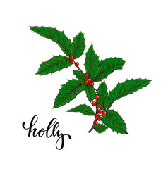 holly ilex branch with berry and leaves on white vector image