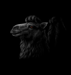 portrait of a camel head on a black background vector image