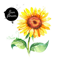 Hand drawn watercolor sunflower painted sketch vector