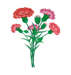 red carnation or clove flower spring bouquet vector image