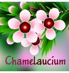 Beautiful spring flowers Chamelaucium Cards or vector