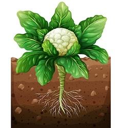 Cauliflower with roots in the ground vector