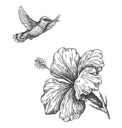 Humming bird and hibiscus sketch vector