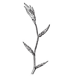 Beech branch vintage vector