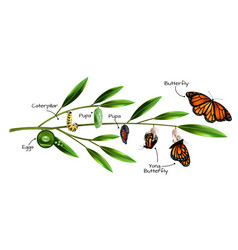 butterfly metamorphosis composition vector image