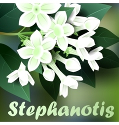 Beautiful spring flowers stephanotis Cards or vector image