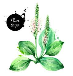 hand drawn watercolor plantago painted sketch vector image