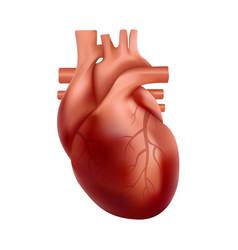 Realistic human heart internal organ anatomy 3d vector