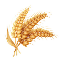 Barley ear with leaves realistic isolated wheat vector