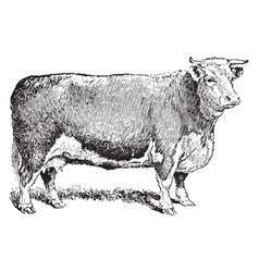 Beef cow vintage vector