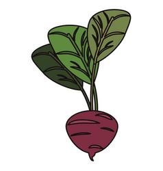 beetroot vegetable food fresh vector image