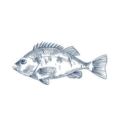 bass seafood monochrome vector image