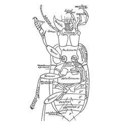 Beetle vintage vector