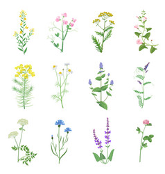 wild herbs color set isolated wildflowers herbs vector image