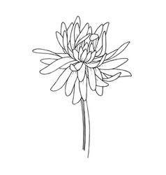 Chrysanthemum floral botanical flowers vector