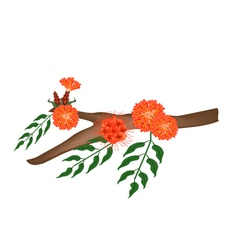 Scarlet Flame Bean or Brownea Ariza Flower on Tree vector