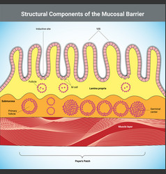 Structural components mucosal barrier vector