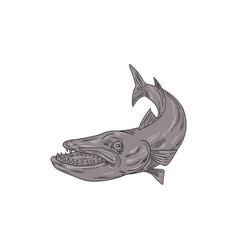 barracuda swimming down drawing vector image