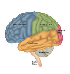 human brain isolated brain lateral view anatomy vector image