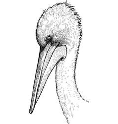 Head a pelican vector