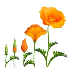 Poppy ascending order or stages growth vector