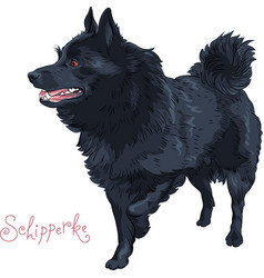 color sketch black dog schipperke breed vector image vector image