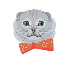 scottish fold breed of cat in grey color on white vector image