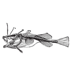 Angler fish vintage vector