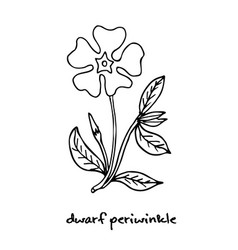 Dwarf periwinkle or vinca minor vector
