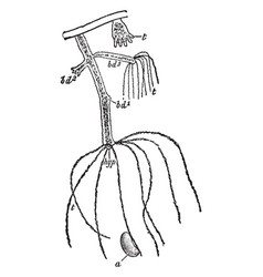 Freshwater polyp vintage vector