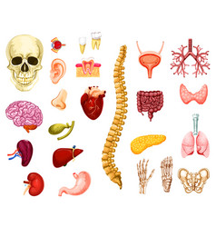 human organs joints and bones vector image