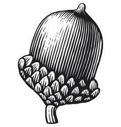 acorn vintage engraved vector image
