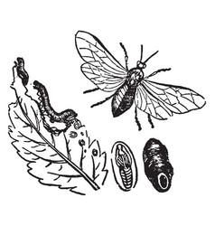 Turnip sawfly vintage vector