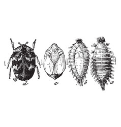 Carpet beetle stages vintage vector