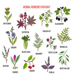 Collection of natural herbs for gout vector