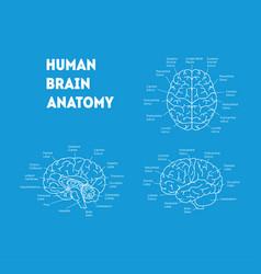 human brain anatomy card poster vector image
