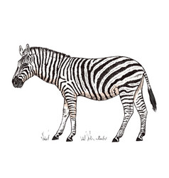 African zebra wild animal on white background vector