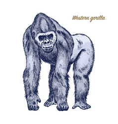 Western or mountain gorilla big monkey or primate vector