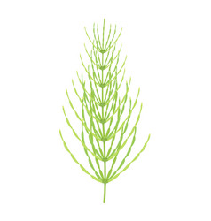 horsetail plant isolated on white vector image