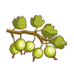 Gooseberry isolated on white vector