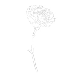 black and white carnation flower isolated on white vector image
