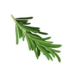 sprig of green rosemary culinary herb spice for vector image