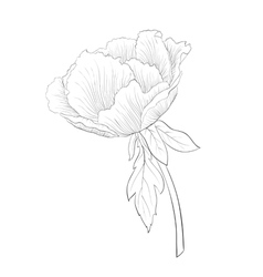black and white Plant Paeonia arborea Tree peony vector image